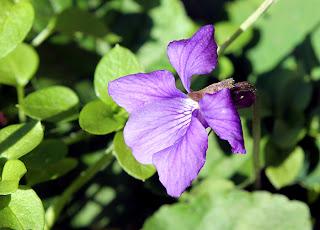 фиалка душистая цветет в ноябре