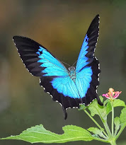 Ulysses Swallowtail