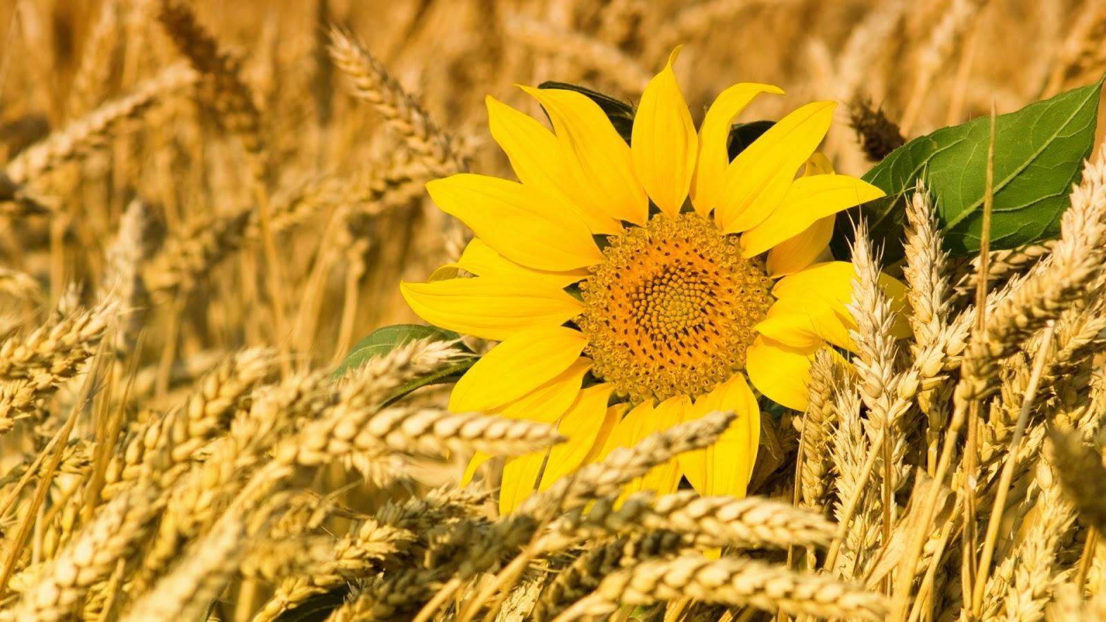 Sunflowers Wheatfield