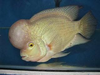 luohan fish