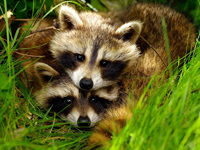 raccoon pairs love animal pictures