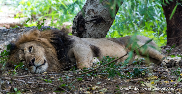 Lion Safari at Bannerghatta National Park