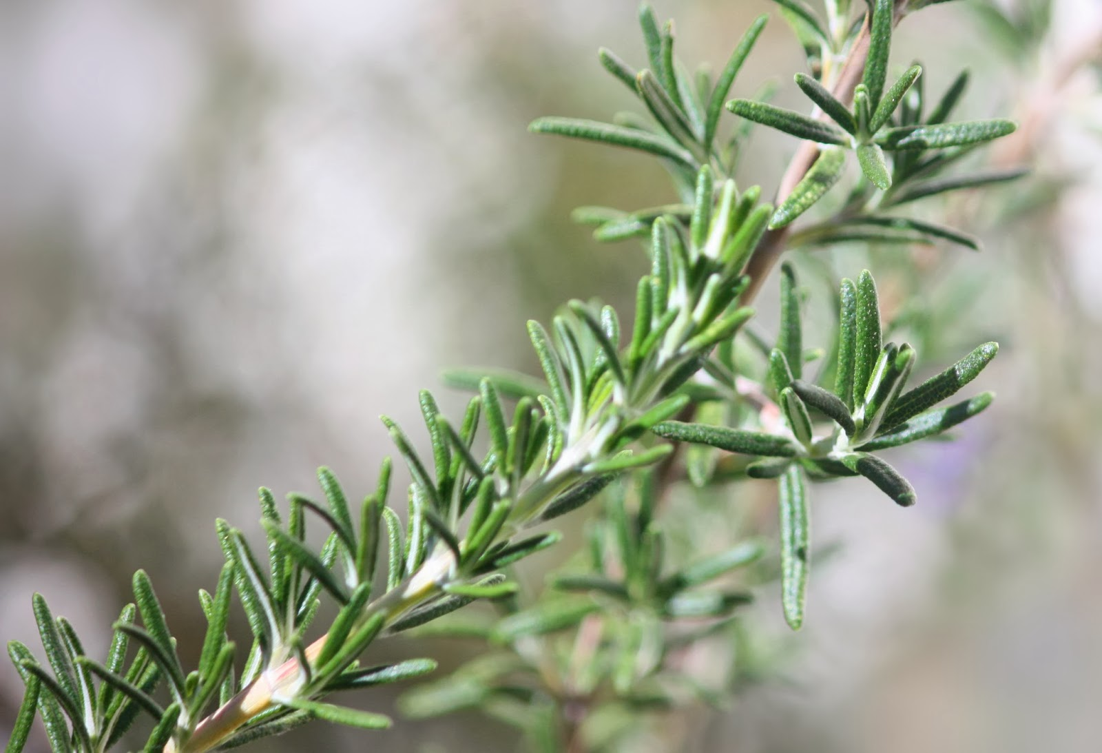 Rosemary is a healing herb