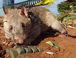 Tikus Pelacak Bom Bakal Jadi Pesaing Anjing Terlatih