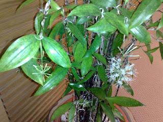 pokok buluh berbunga