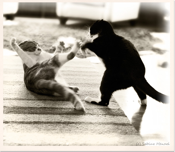 Psynopsis Cat Fight