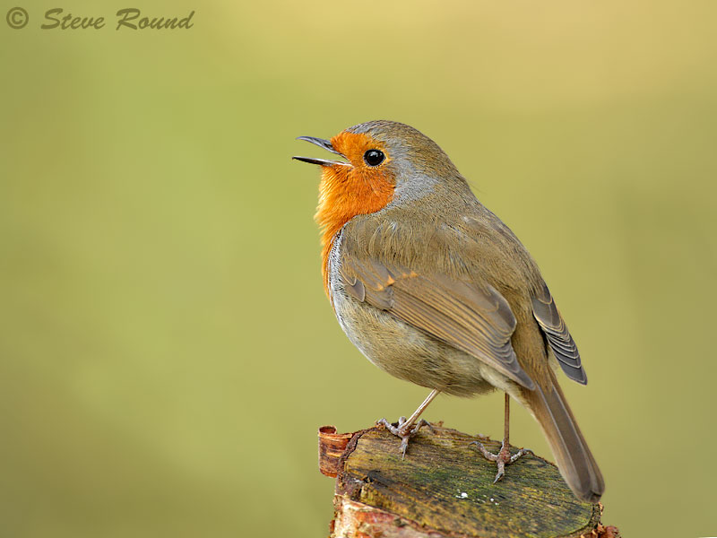 bird, nature, wildlife, singing, song