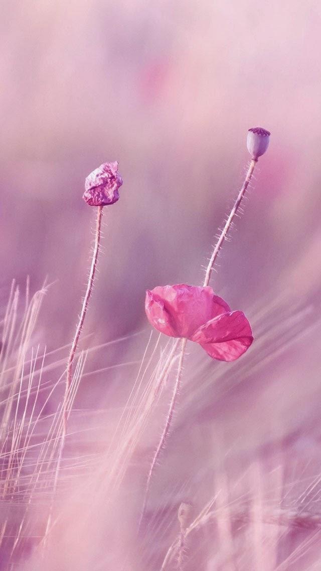 Rose Violet Flower Fields Fonds D Ecran Iphone 5 Iphone Fonds D Ecran Hd