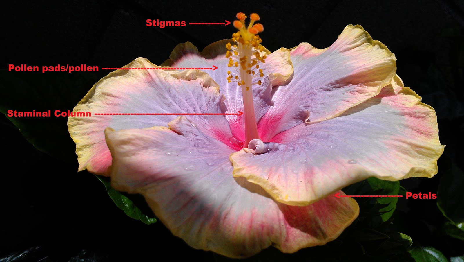 Kapu gardens how to hybridize hibiscus top of a hibiscus flower izmirmasajfo