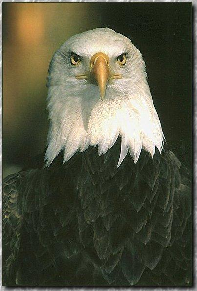 336 Eagle HD Wallpapers | Backgrounds - Wallpaper Abyss