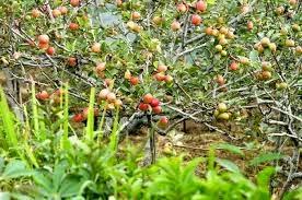 Apple Plantation - at Malang Batu - By Dreamland Tour