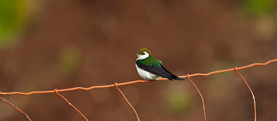 A Violet-green Swallow perched on a rusty red wire fence.