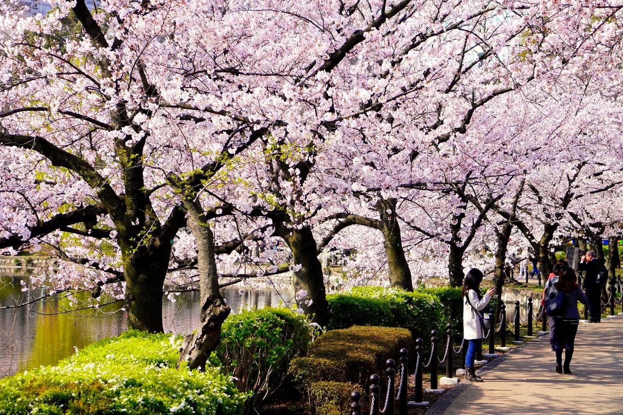 不忍池, 桜 , Shinobazu Pond, Sakura, Cherry Blossoms