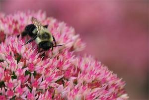 Bees love sedum