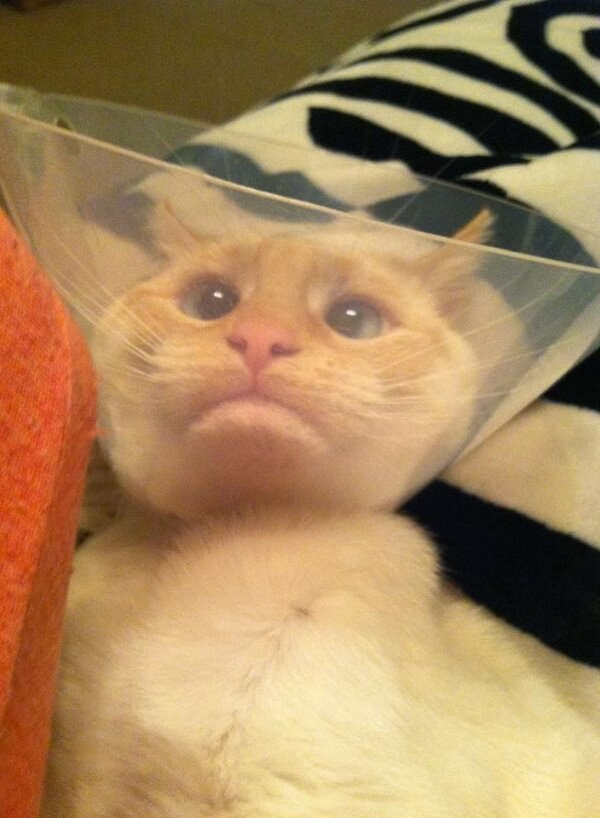 Funny cats - part 92 (40 pics + 10 gifs), cat doesn't like cone of shame
