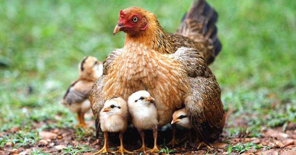 Resultado de imagem para galinhas inteligentes