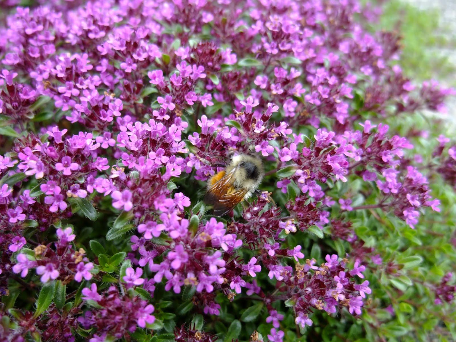 Beediverse Bee attractive sage ground cover Quadra island