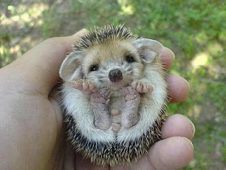 cute rolled up hedgehog