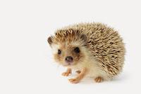 Hedgehog looking straight ahead