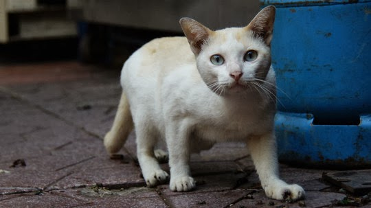 cat of bangkok