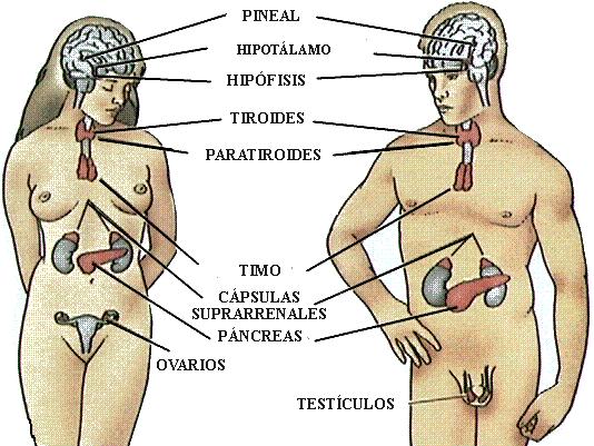 Orientación Educativa. : Sistema endocrino y Nervioso.