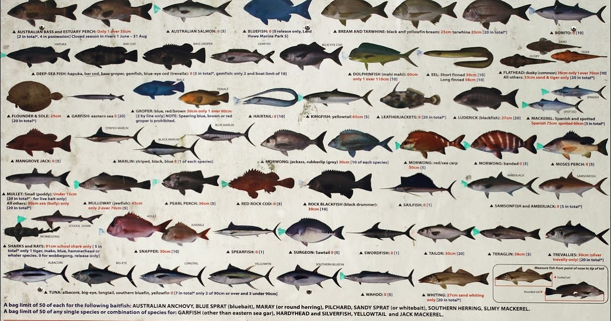 The ridou report legal bag size limits for saltwater for Fish size limits