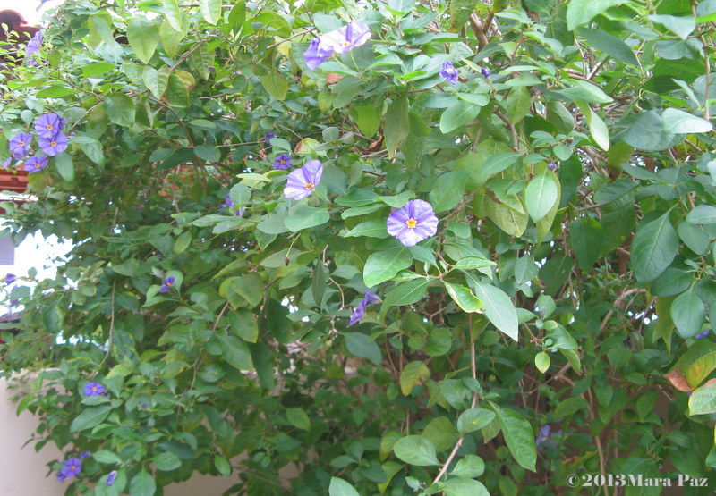 Blue potato bush