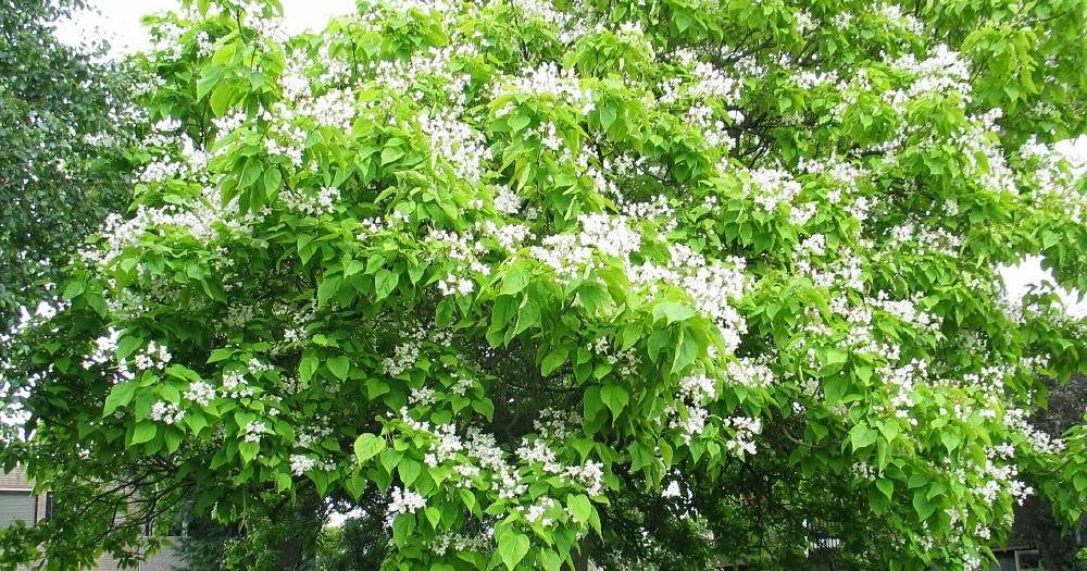 Arte y jardiner a dise o de jardines catalpa bignoinoides for Diseno de jardines 3d 7 0 keygen