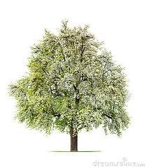Los mejores arboles ornamentales agronomia para todos for Raices ornamentales