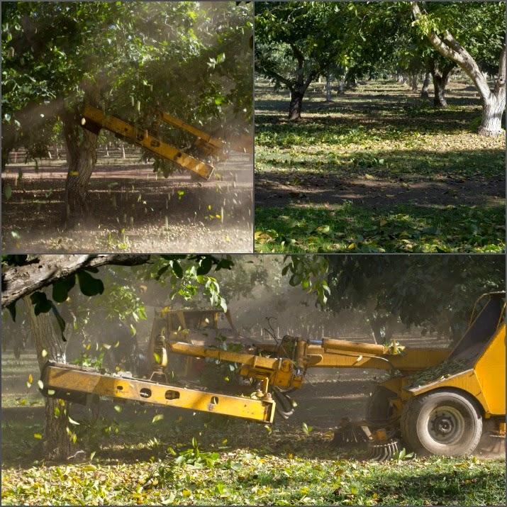 Eine Schüttelmaschine rüttelt so lange an den Bäumen, bis die Nüsse zu Boden fallen