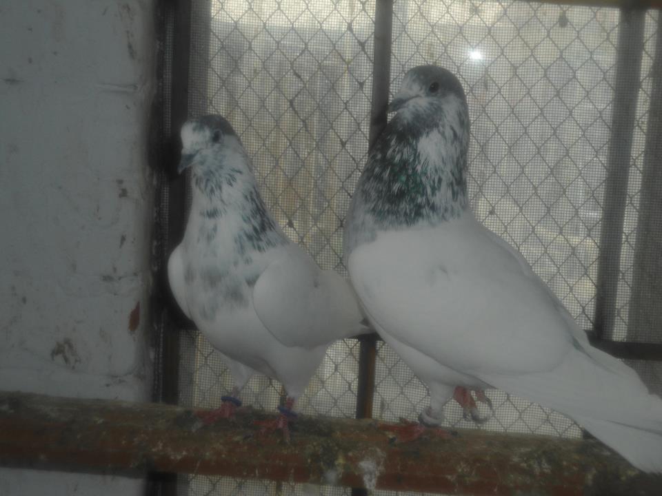 Pigeon Liker: 35 waly,Batery Rana Tahir (Sialkot)