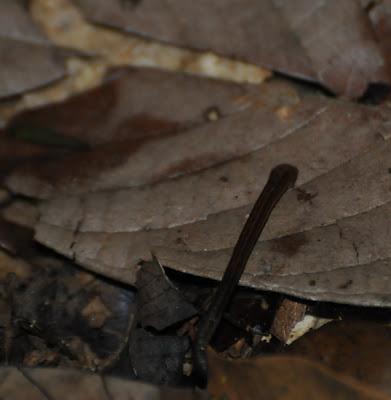 Leech (Haemadipsa zeylanica)