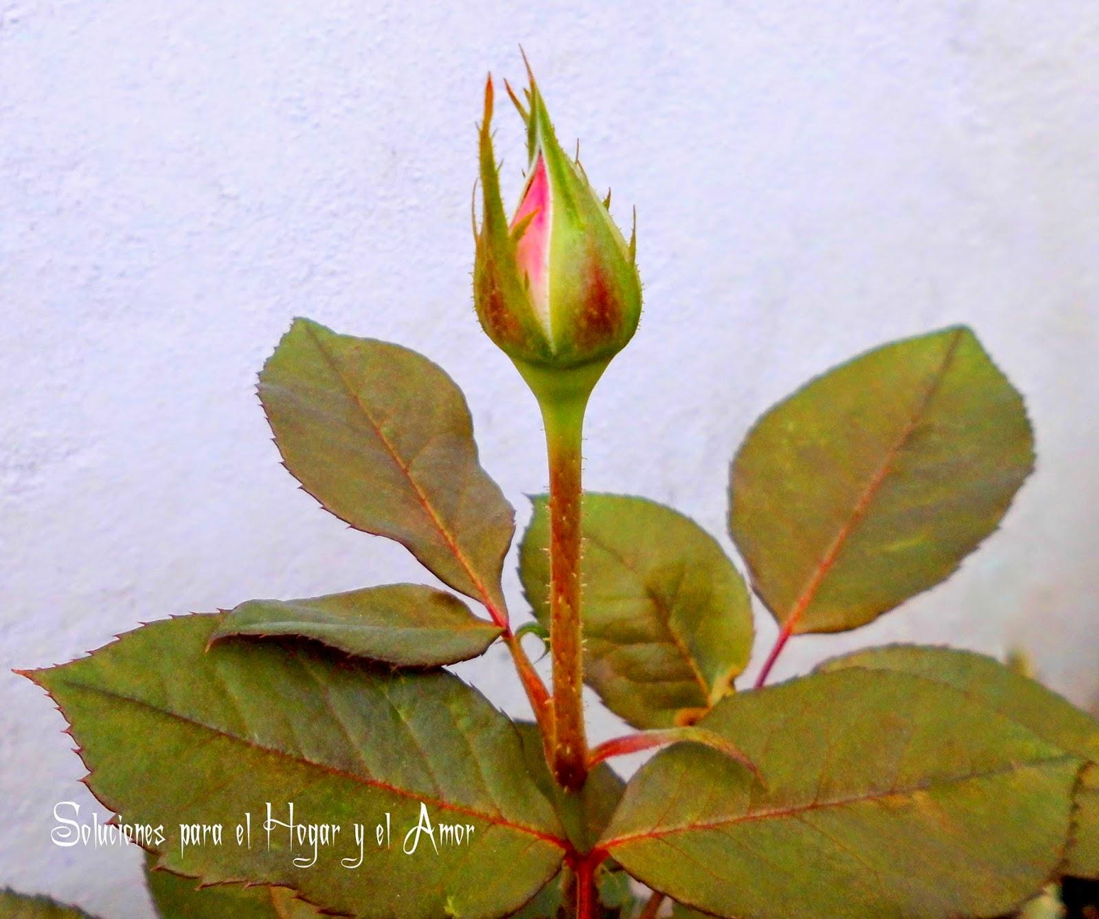 Rosas Petalos Rojos y Blancos