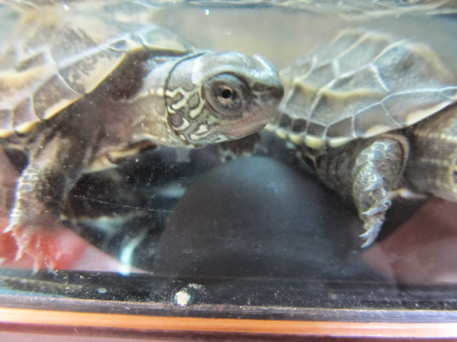 amigos de las tortugas: Mauremys (Chinemys) Reevesii o tortuga china