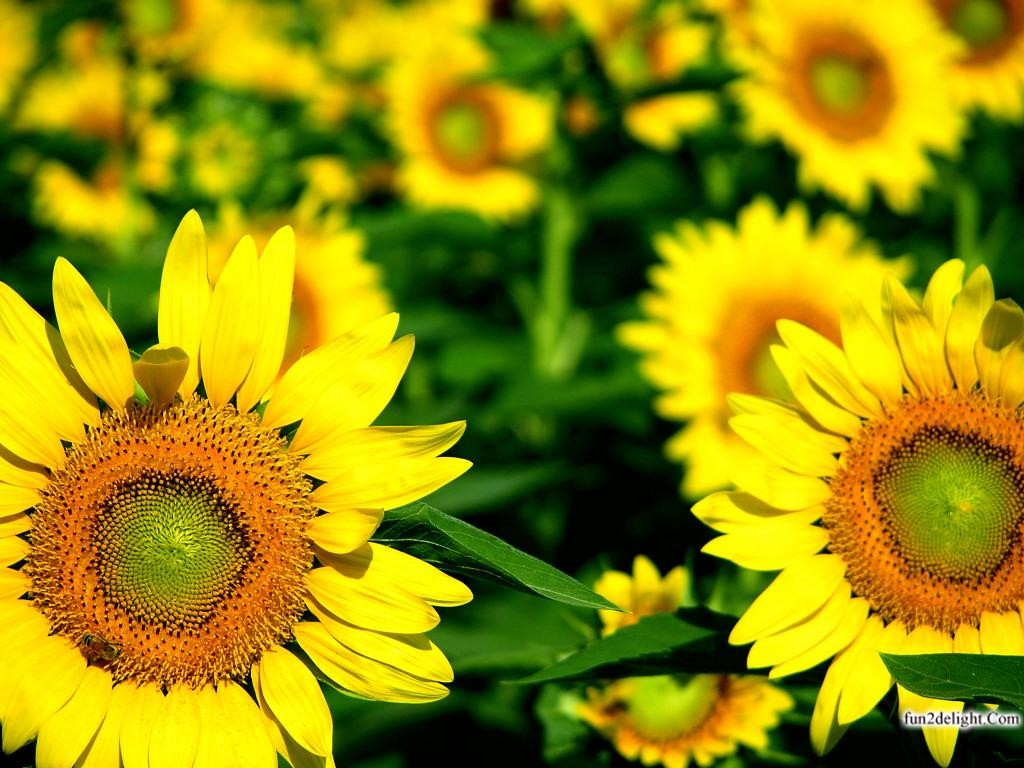 http://2.bp.blogspot.com/-OOB80BewmEw/UMBeZAuau2I/AAAAAAAA4Qo/3A7tG4qnTmY/s1600/sun-flowers-wallpapers-images-pictures-fun2delight.com-999919.jpg