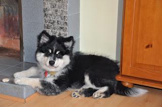 Elbereth Matti - Finnish Lapphund puppy