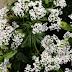 Uykusuzluk ve Aksiyete Tedavisinde Kediotu (Valeriana officinalis)