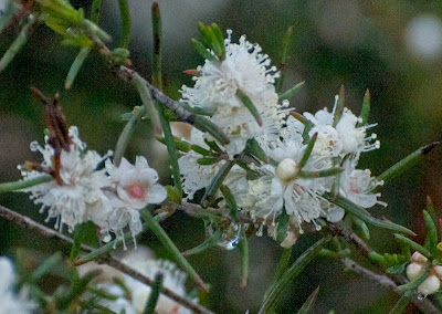 White Myrtle (Hypocalymma angustifolium)