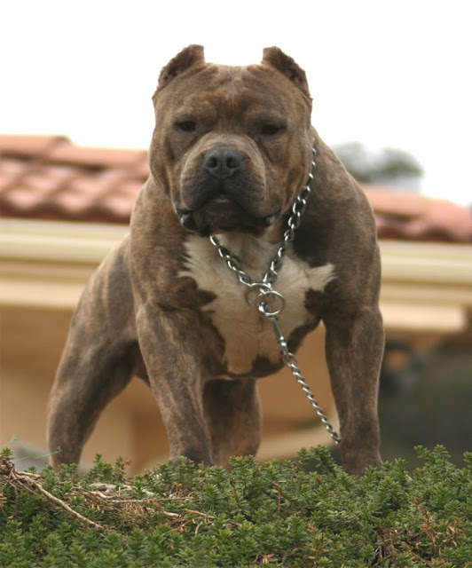 American Pit Bull Terrier Dog (PHOTOS)