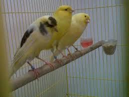 Ternak Kenari, cara beternak burung kenari, budidaya kenari yorkshire, cara ternak burung kenari york shire, ternak burung kenari, burung kenari