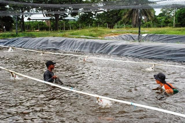 Centro acu cola y agroindustrial de gaira regional Estanques para cachamas