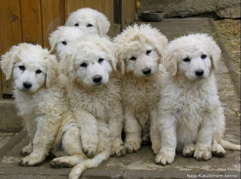 Welcome New Owners Of Kuvasz Puppies