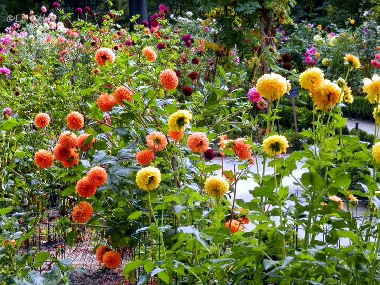 Dalias en el jard n bot nico de madrid for Caracteristicas de un jardin botanico