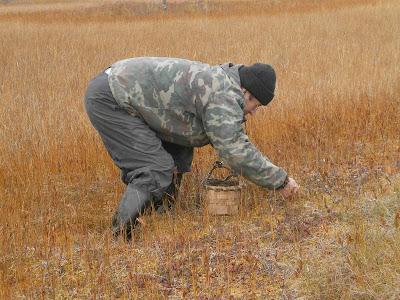 Русский метод сбора клюквы  - на карачках