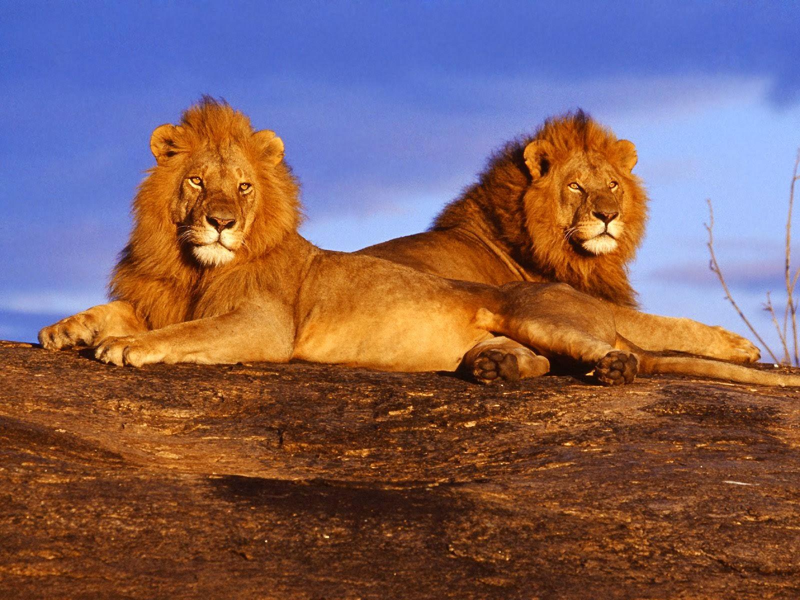 Africa Big Cats Volunteering
