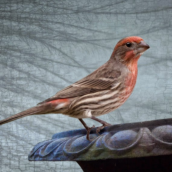https://www.etsy.com/listing/183171481/coral-pink-house-finch-resting-on-an-urn?ref=shop_home_active_21
