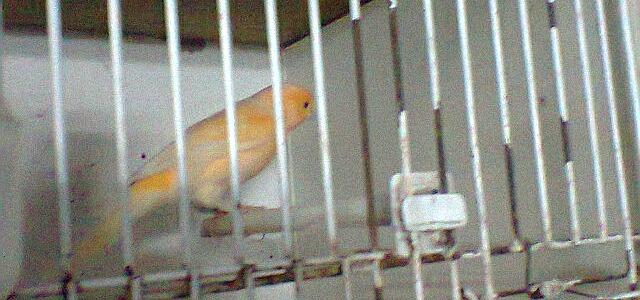 o meu canário laranja macho