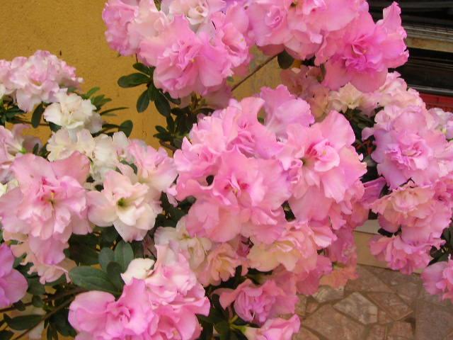 Aprenda mais sobre a Azaléia  Rhododendron simsii  Crie Flores