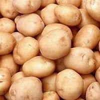 Kentang (Solanum tuberosum L) merupakan sumber utama karbohidrat, sehingga menjadi komoditi penting. PT. NATURAL NUSANTARA berupaya meningkatkan produksi kentang nasional secara kuantitas, kualitas dan tetap berdasarkan kelestarian lingkungan (Aspek 3K).       SYARAT PERTUMBUHAN  2.1. Iklim  Curah hujan rata-rata 1500 mm/tahun, lama penyinaran 9-10 jam/hari, suhu optimal 18-21 °C, kelembaban 80-90% dan ketinggian antara 1.000-3.000 m dpl.    2.2. Media Tanam  Struktur remah, gembur, banyak mengandung bahan organik, berdrainase baik dan memiliki lapisan olah yang dalam dan pH antara 5,8-7,0.    PEDOMAN TEKNIS BUDIDAYA  3.1. Pembibitan  - Umbi bibit berasal dari umbi produksi berbobot 30-50 gram, umur 150-180 hari, tidak cacat, dan varitas unggul. Pilih umbi berukuran sedang, memiliki 3-5 mata tunas dan hanya sampai generasi keempat saja. Setelah tunas + 2 cm, siap ditanam.  - Bila bibit membeli (usahakan bibit yang bersertifikat), berat antara 30-45 gram dengan 3-5 mata tunas. Penanaman dapat dilakukan tanpa/dengan pembelahan. Pemotongan umbi dilakukan menjadi 2-4 potong menurut mata tunas yang ada. Sebelum tanam umbi direndam dulu menggunakan POC NASA selama 1-3 jam (2-4 cc/lt air).    3.2. Pengolahan Media Tanam  Lahan dibajak sedalam 30-40 cm dan biarkan selama 2 minggu sebelum dibuat bedengan dengan lebar 70 cm (1 jalur tanaman)/140 cm (2 jalur tanaman), tinggi 30 cm dan buat saluran pembuangan air sedalam 50 cm dan lebar 50 cm.  Natural Glio yang sudah terlebih dahulu dikembangbiakkan dalam pupuk kandang + 1 minggu, ditebarkan merata pada bedengan (dosis : 1-2 kemasan Natural Glio dicampur 50-100 kg pupuk kandang/1000 m2).    3.3. Teknik Penanaman  3.3.1. Pemupukan Dasar  a. Pupuk anorganik berupa urea (200 kg/ha), SP 36 (200 kg/ha), dan KCl (75 kg/ha).  b. Siramkan pupuk POC NASA yang telah dicampur air secukupnya secara merata di atas bedengan, dosis 1-2 botol/ 1000 m². Hasil akan lebih bagus jika menggunakan SUPER NASA dengan cara :  alternatif 1 : 1 botol Su