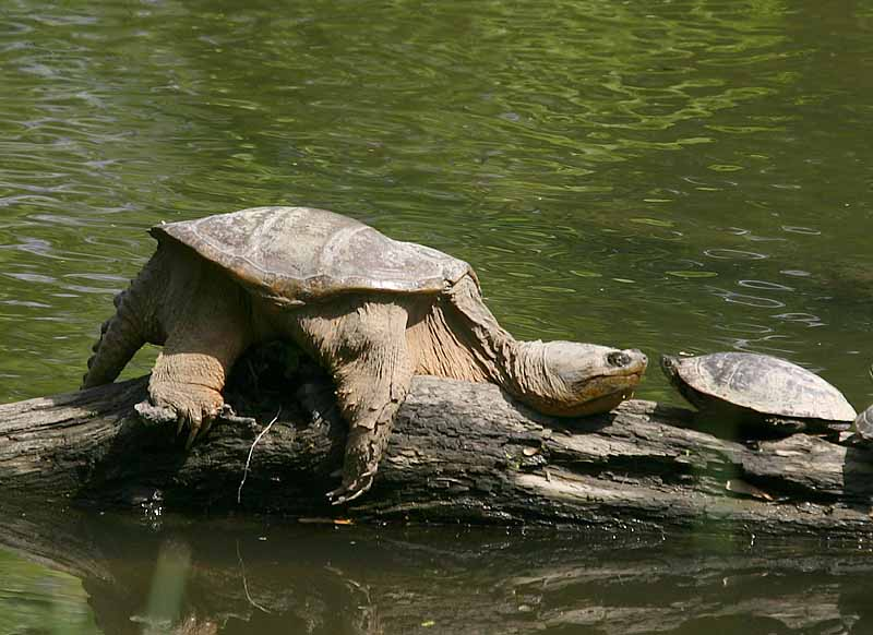 how to clean a snapping turtle